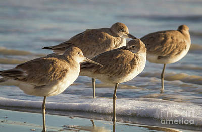 Photograph - Resting Willets by David Cutts
