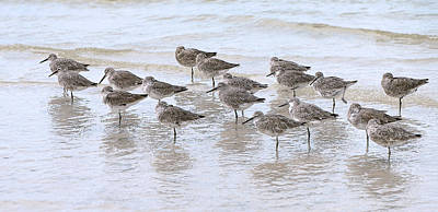 Photograph - Resting Willets by Gordon Ripley