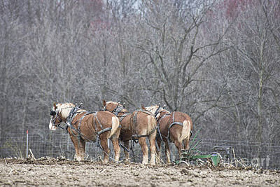 Photograph - Resting Work Horses by David Arment