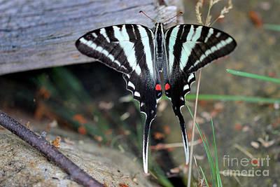 Photograph - Resting Zebra Swallowtail Butterfly by Karen Adams