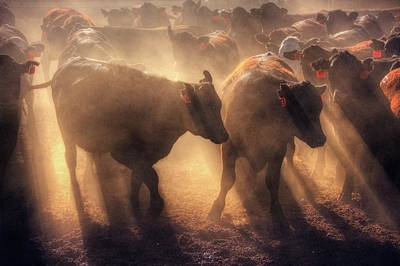 Photograph - Restless Cattle At Sunset by Peter Thoeny
