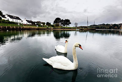 Photograph - Restronguet Swans In Winter by Terri Waters