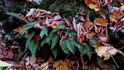 Photograph - Resurrection Fern Along The Appalachian Trail by Daniel Reed