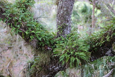 Photograph - Resurrection Fern by Carol Groenen