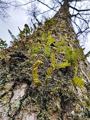 Photograph - Resurrection Fern by Rachel Hannah