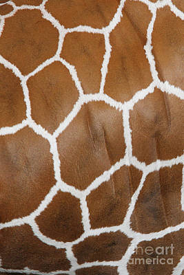Reticulated Giraffe #2 Art Print