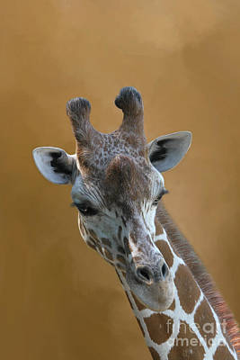 Photograph - Reticulated Giraffe #4 by Judy Whitton