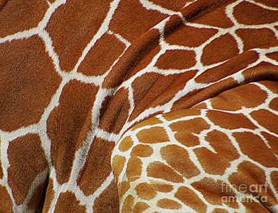 Photograph - Reticulated Giraffe- Giraffa Camelopardalis Reticulata Abstract by Rick Bures