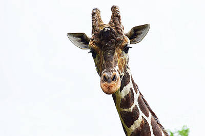 Photograph - Reticulated Giraffe by Patti Whitten