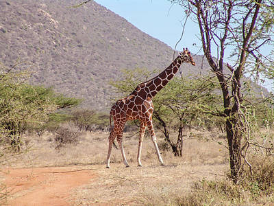 Reticulated Giraffe Samnuru National Park Original