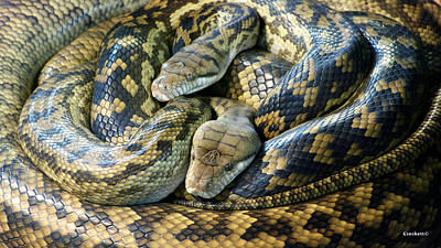 Photograph - Reticulated Python by Gary Crockett