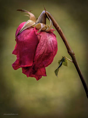 Photograph - Retired Rose by LeeAnn McLaneGoetz McLaneGoetzStudioLLCcom