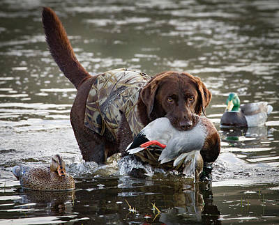 Water Retrieve Photograph - Retrieving Chocolate Labrador by Jean Noren