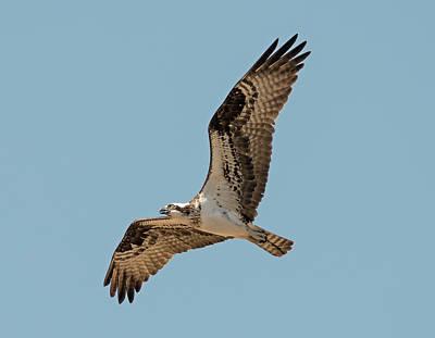 Osprey Photograph - Return Of The Osprey by Loree Johnson