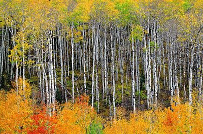 Return To The Aspen Forest Art Print by Tim Reaves