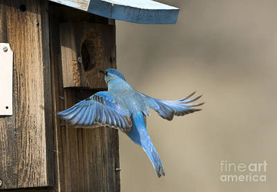 Bluebirds Photograph - Returning Home by Mike Dawson