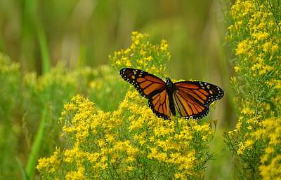 Photograph - Returning Home - Monarch Butterfly by rd Erickson