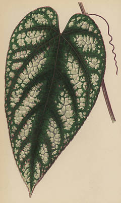 Botanical Drawing - Rex Begonia Vine Cissus Discolor by English School