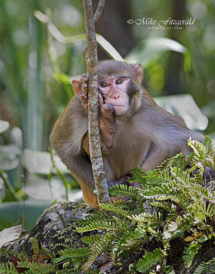 Photograph - Rhesus Bored by Mike Fitzgerald