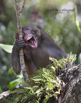 Photograph - Rhesus Laughing by Mike Fitzgerald