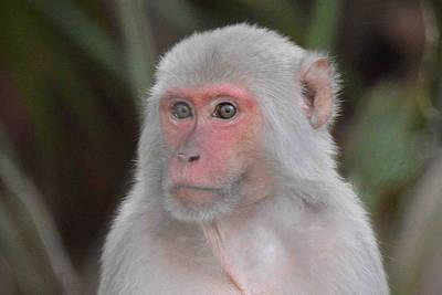 Photograph - Rhesus Monkey Along Silver River by Alan Lenk