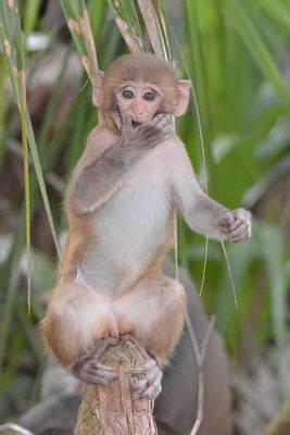 Photograph - Rhesus Monkey Baby by Alan Lenk