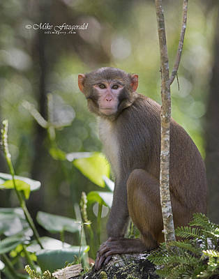Photograph - Rhesus On The Watch by Mike Fitzgerald