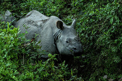 Greater One Horned Rhino Photograph - Rhino In Nepal by Lindley Johnson