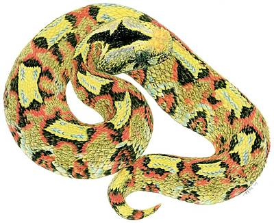 Viper Drawing - Rhino Viper by Tim McCarthy