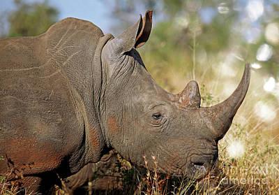 Photograph - Rhino, Wildlife In Africa by Wibke W