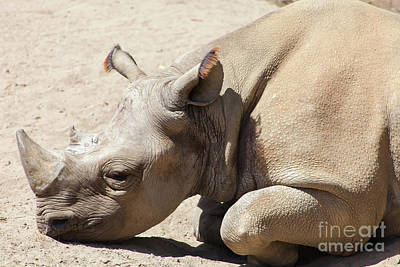 Photograph - Rhinoceros At The San Francisco Zoo San Francisco California 5d3223 by Wingsdomain Art and Photography