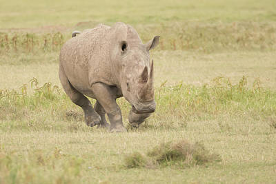 Chargin Photograph - Rhinoceros Charging With Head Down Over Savannah by Ndp