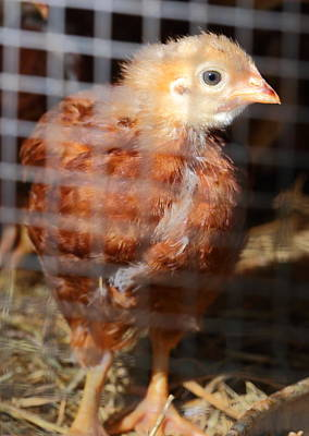 Photograph - Rhode Island Red Chick At Five Weeks by Daniel Reed