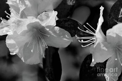 Photograph - Rhodedendron Black And White by Karen Adams