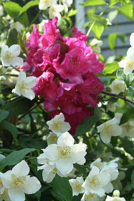 Photograph - Rhodi And White by Kate Gainard Monroe