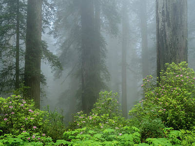 Photograph - Rhodies And Redwoods by Greg Nyquist