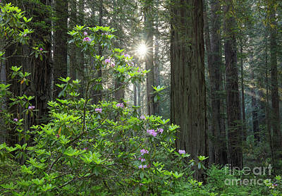 Photograph - Rhodies And Redwoods by Idaho Scenic Images Linda Lantzy