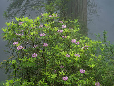 Photograph - Rhodies In Fog by Greg Nyquist