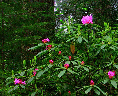 Photograph - Rhodies In The Redwoods by Tom Kidd