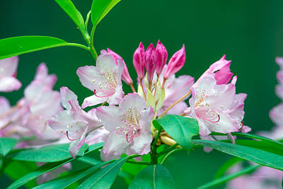 Photograph - Rhododendron 2 by Leland D Howard