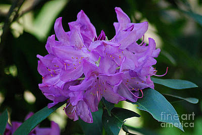 Photograph - Rhododendron 20130506_224 by Tina Hopkins