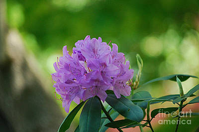 Photograph - Rhododendron 20130515a_189 by Tina Hopkins
