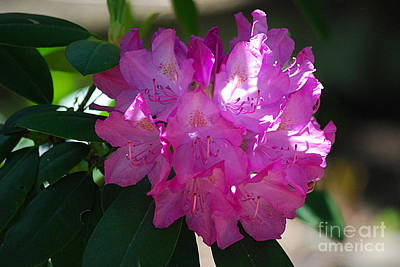 Photograph - Rhododendron 20130515a_239 by Tina Hopkins