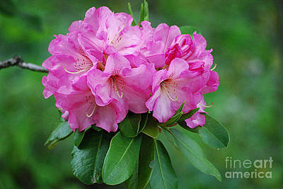 Photograph - Rhododendron 20130517_69 by Tina Hopkins