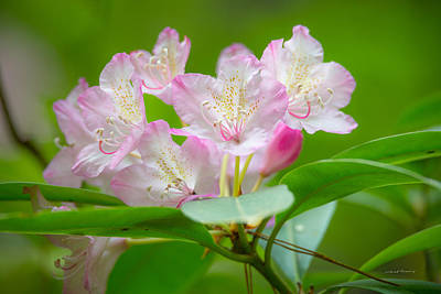 Photograph - Rhododendron 3 by Leland D Howard