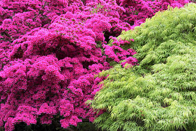 Photograph - Rhododendron And Acer by Tim Gainey