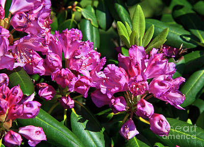 Photograph - Rhododendron Blooming by Jill Lang