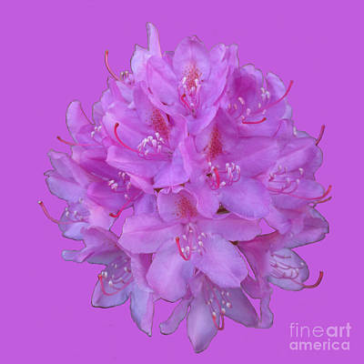 Photograph - Rhododendron Bouquet 2 by Martin Howard