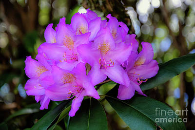 Photograph - Rhododendron by Brenda Bostic