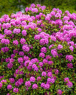 Photograph - Rhododendron Bush by Lutz Baar